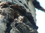 Juvenile Mt. Graham red squirrel emerging from nest